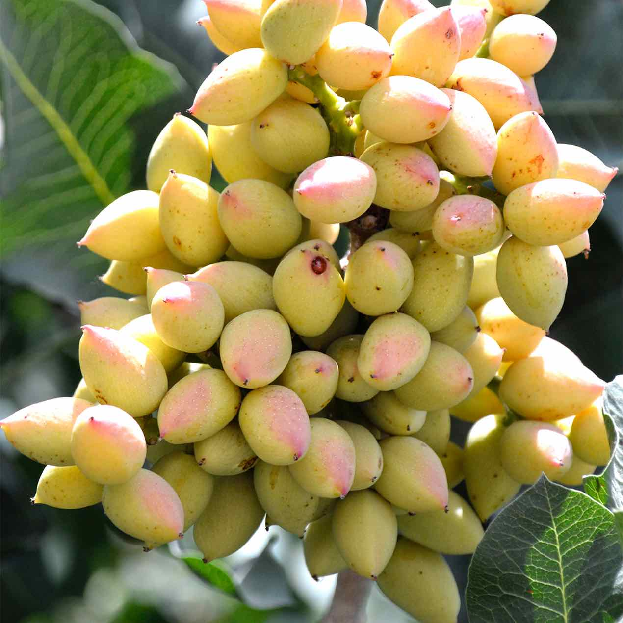 Nut Trees 187 Store 187 Tomorrow S Harvest By Burchell Nursery