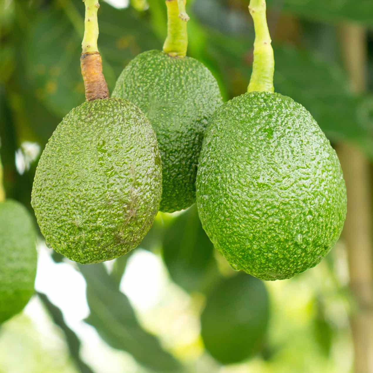 Avocado Category Image