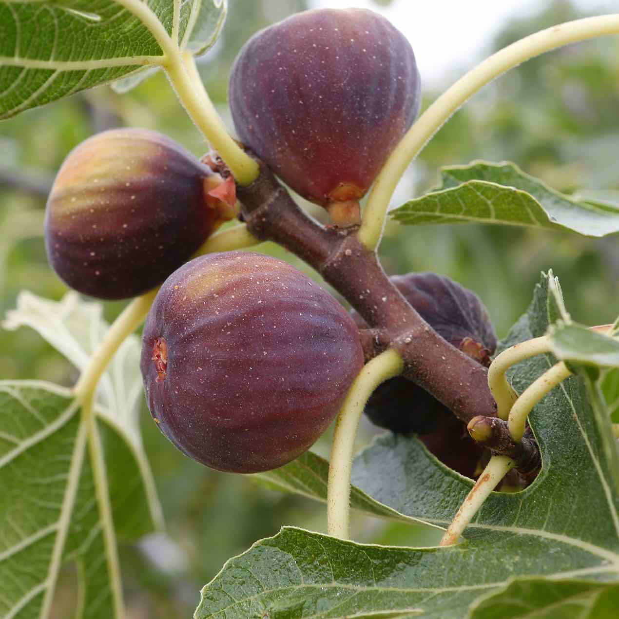How to Prune Guava Trees