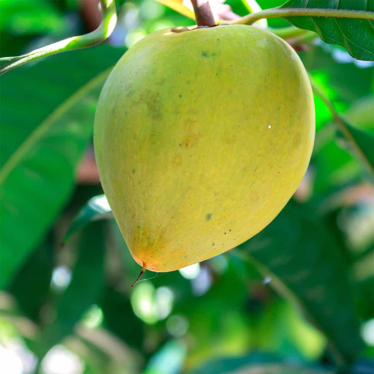 Tropical Fruit Nursery Thenurseries