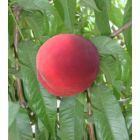 Diamond Princess Peach Tree