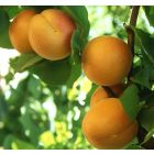 Golden Sweet Apricot Tree