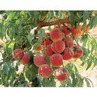 Autumn Flame Peach Tree