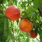 Cresthaven Peach