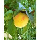 Lemon Elberta Peach