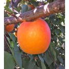 Orange Knockout Apricot