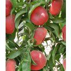 Scarlet Halo Peach