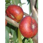 Honey Halo Nectarine Tree