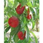 Sugar Saucer Nectarine Tree