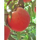 Pink Diamond Peach