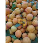 Chinese (Mormon) Apricot Tree