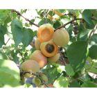 Flavor Delight Apricot Plum