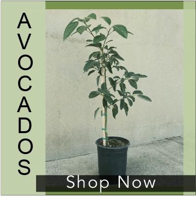 Avocado Tree Image