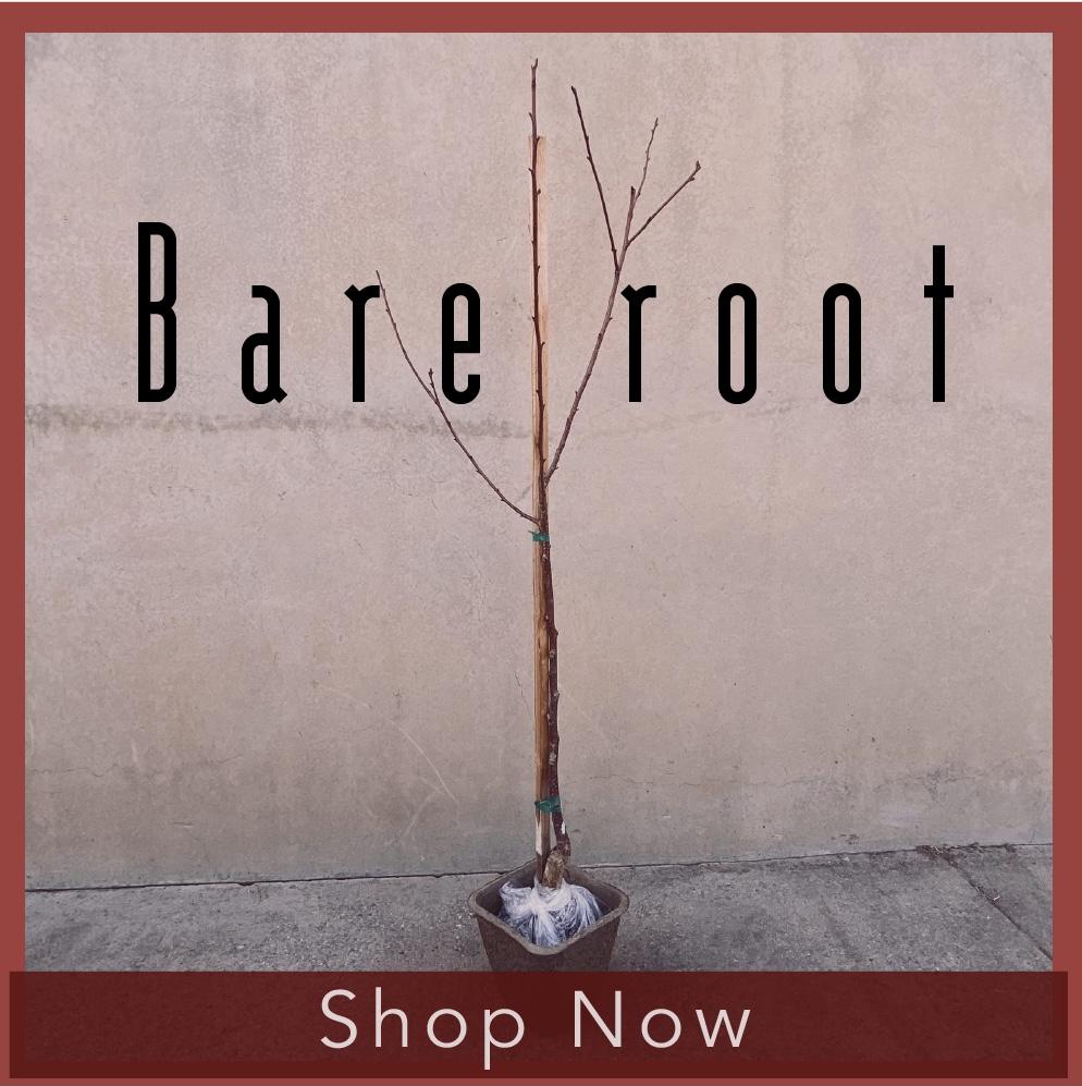 Bareroot Trees Image