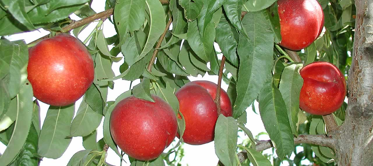Nectarines on a Tree