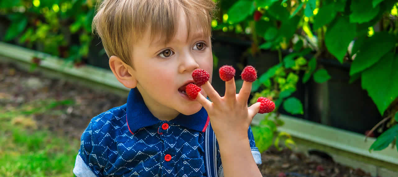 Child eating raspberries off of his fingers.