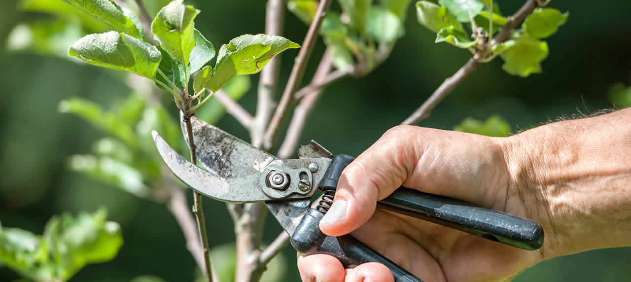 Male Hand using clippers to prune a tree.