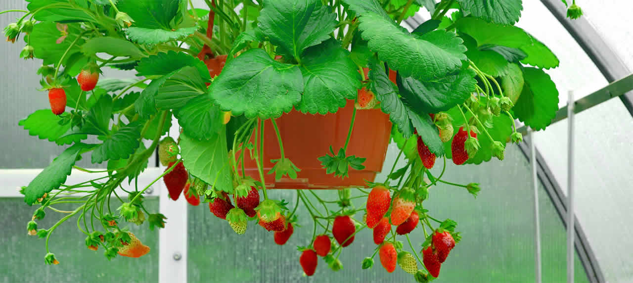Strawberries grown in a hanging pot