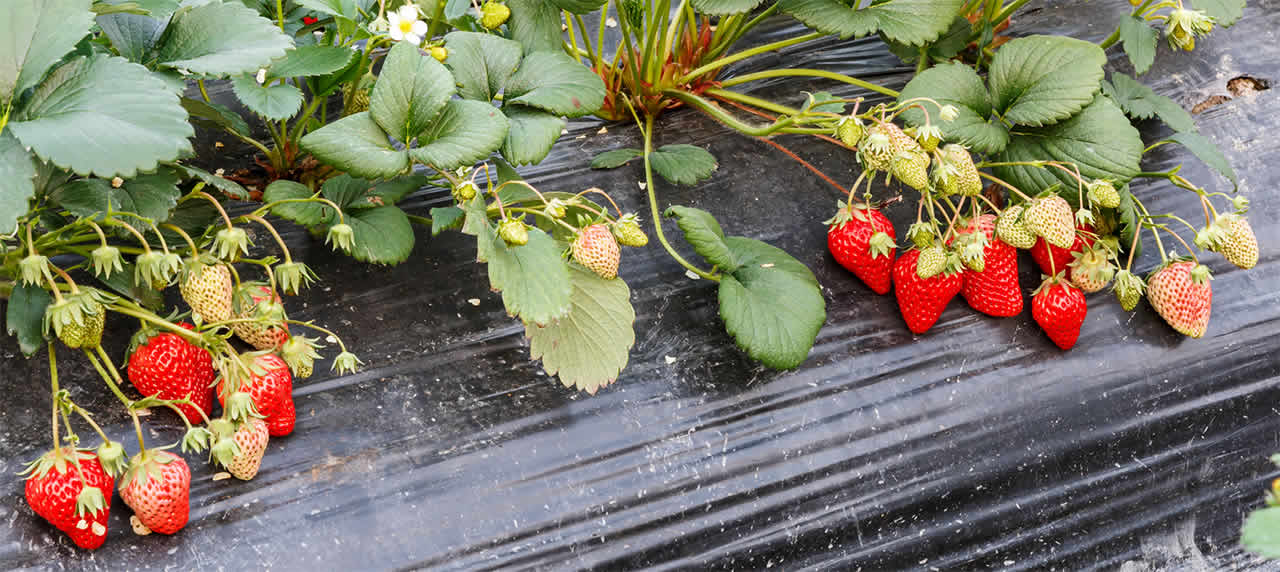 Strawberries planted under plastic
