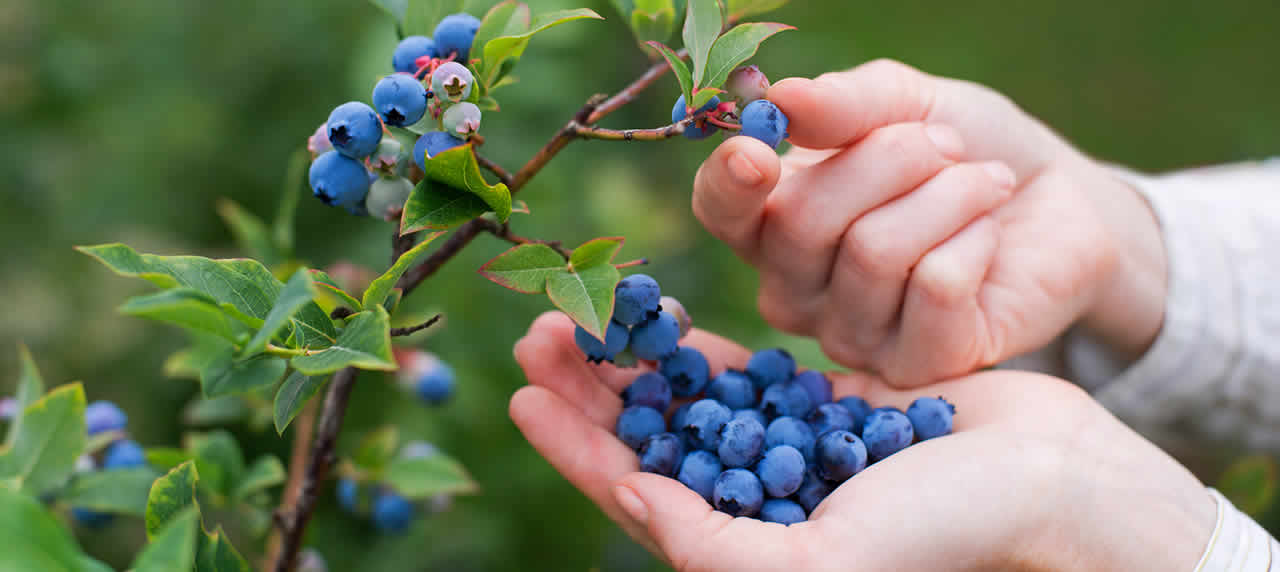 Two hands picking blueberries.