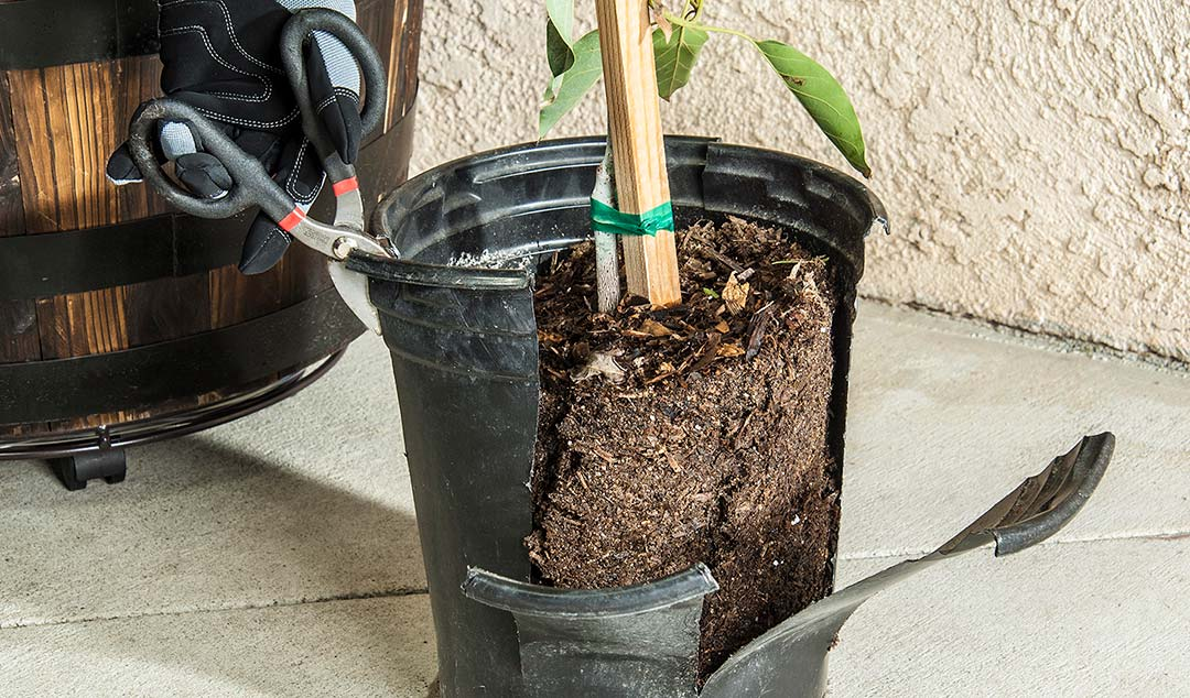 How to remove the shipping pot from an avocado tree.
