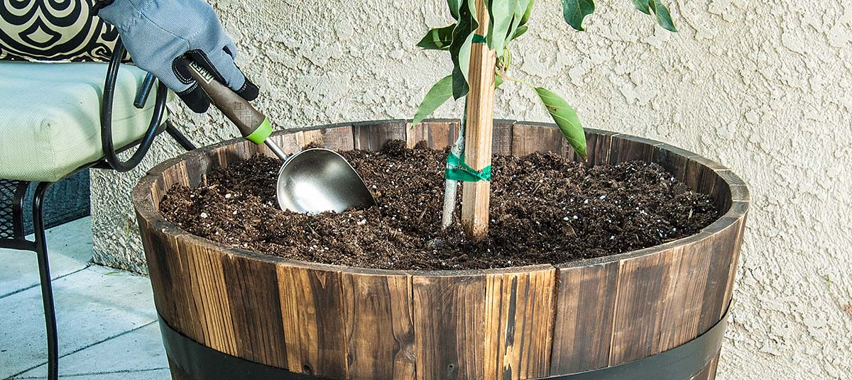 Planting an Avocado tree in a container