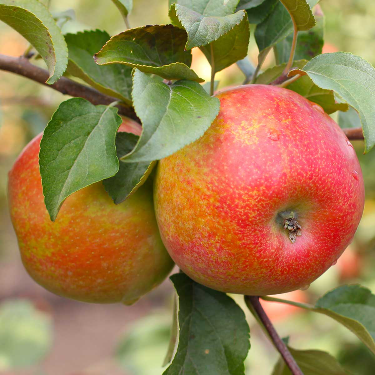 Honeycrisp Apples on an Apple Tree