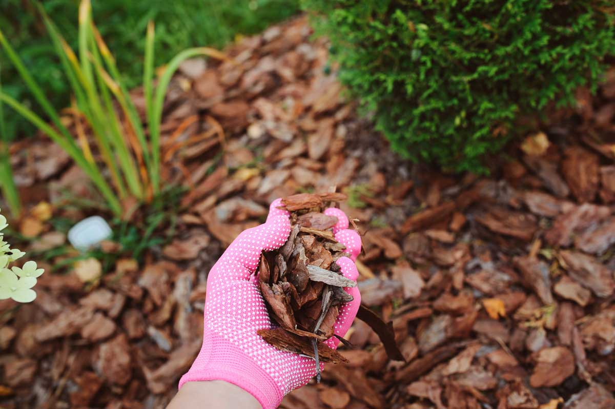 Pink gloved hand holding mulch.