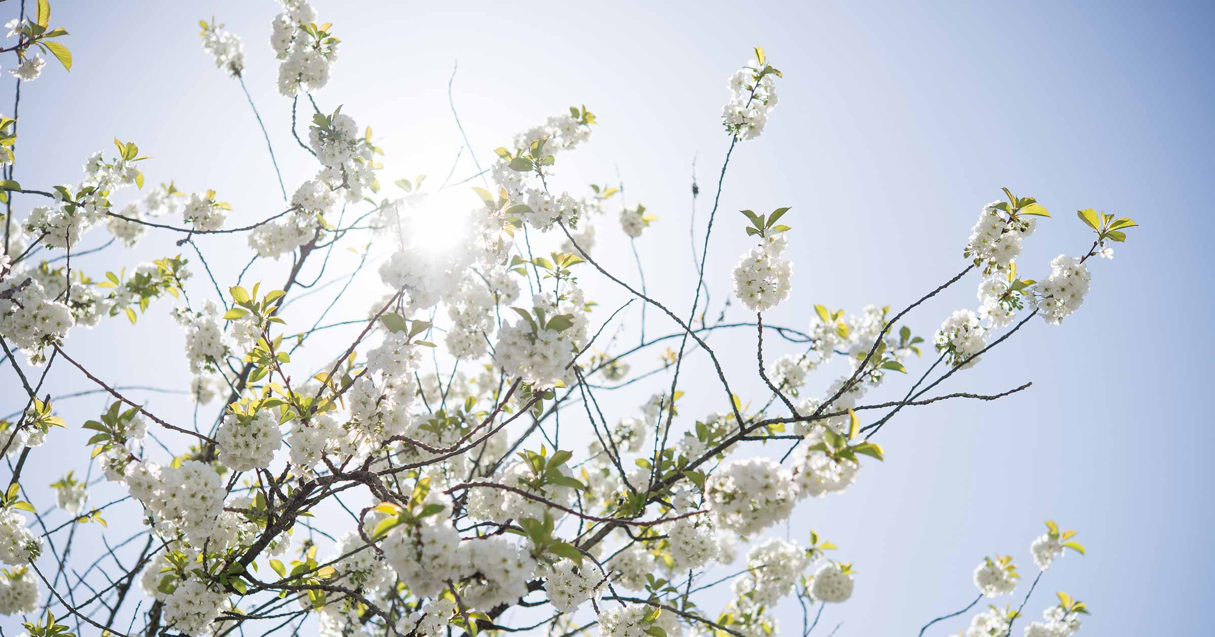Fruit tree blossoms in front of the sun.