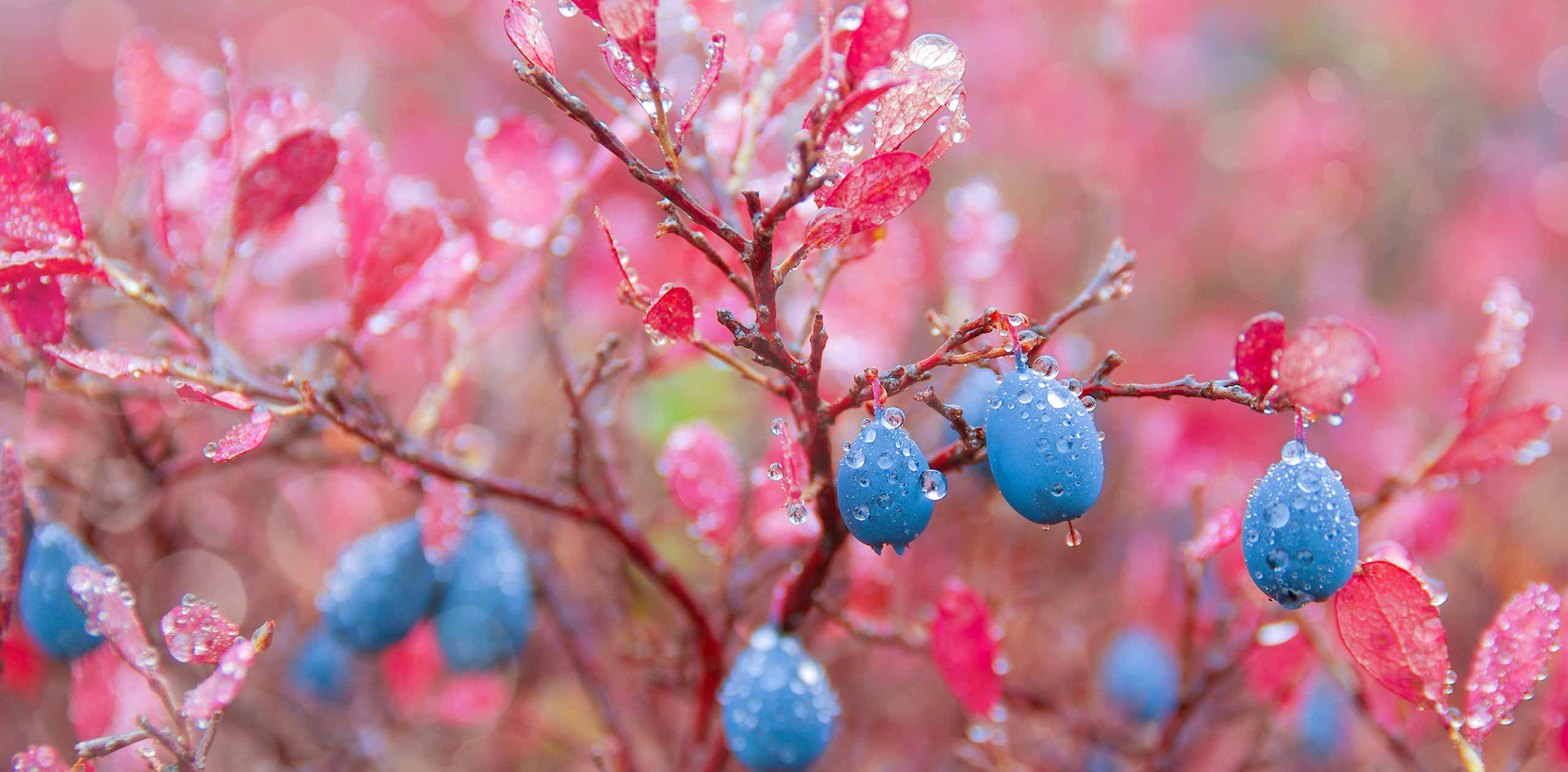Blueberry Blog Header Photo - Blueberries on pink bush