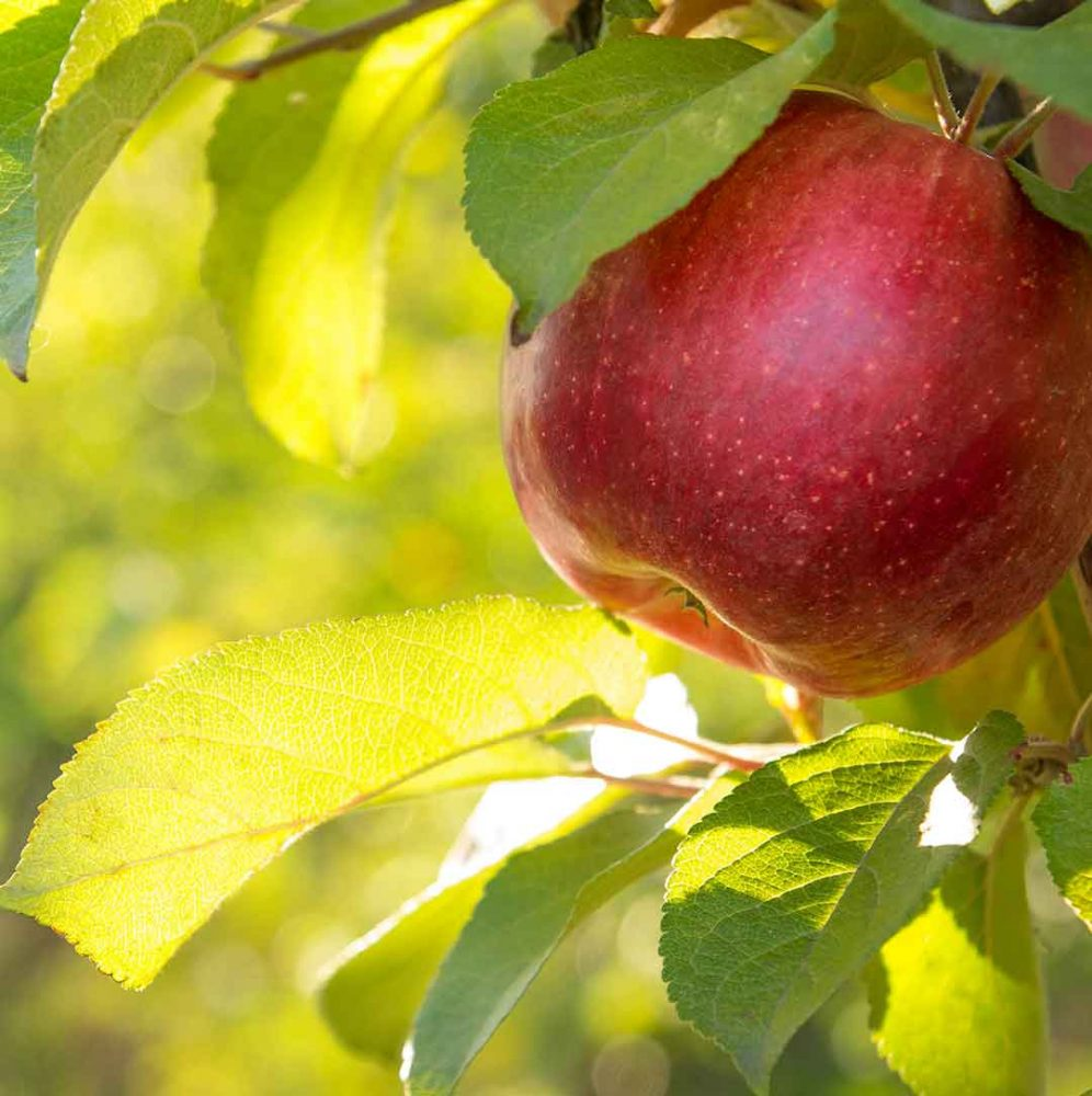 Beautiful backlit red apple in a tree.