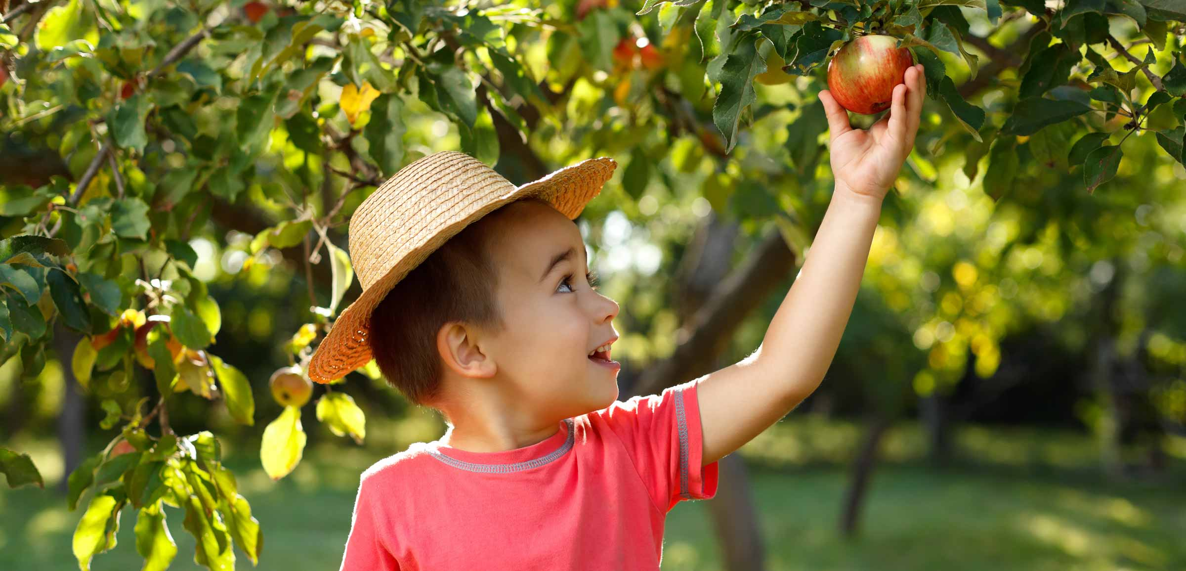 Boy picking an apple from an Apple Tree