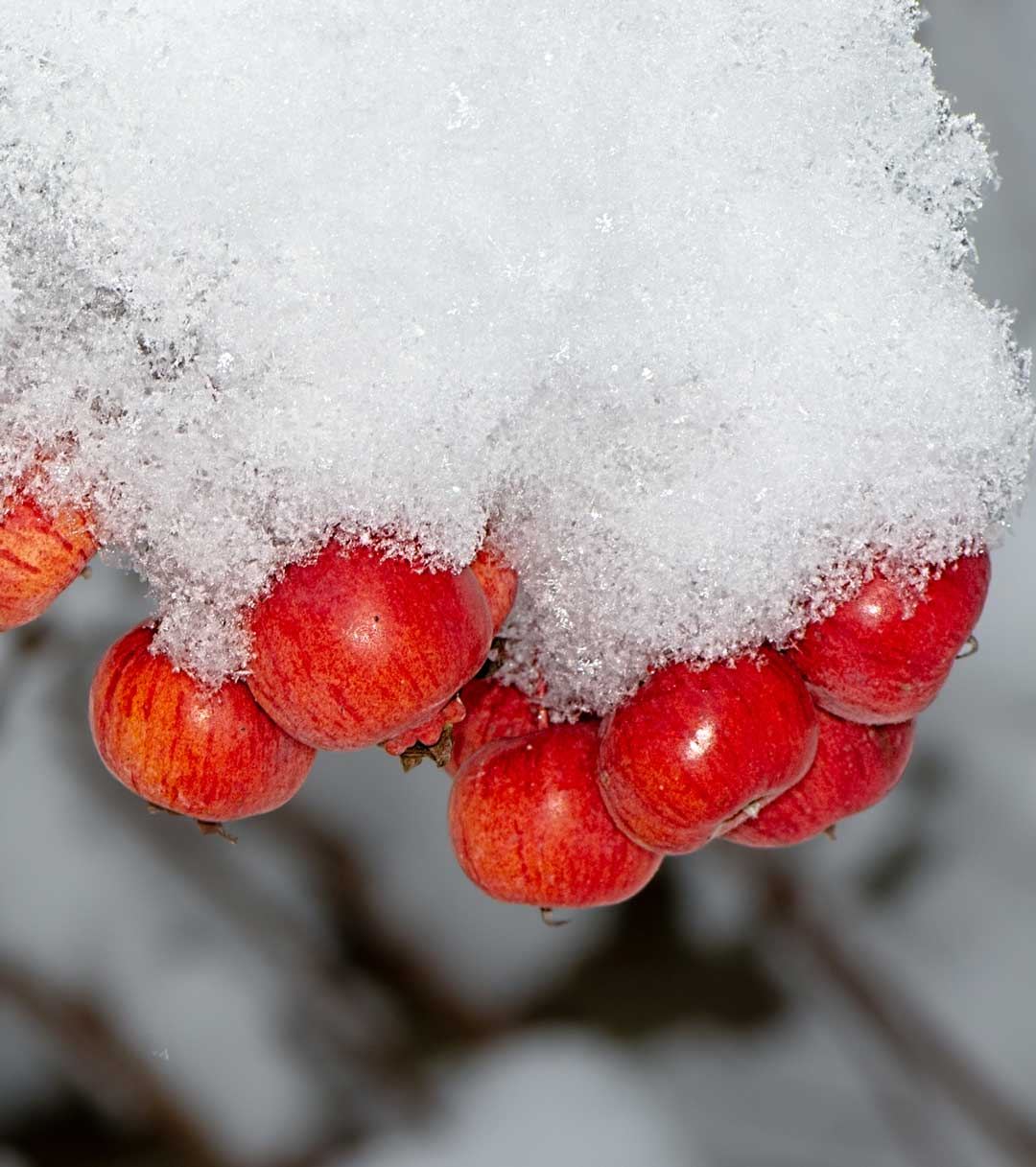 Frozen Red Apples on Tree