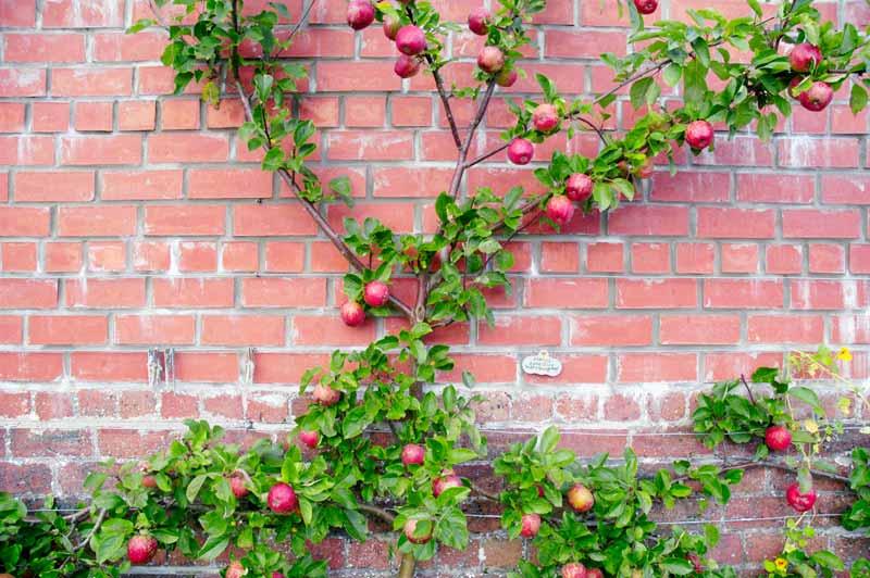 Apple tree growing near a brick wall.