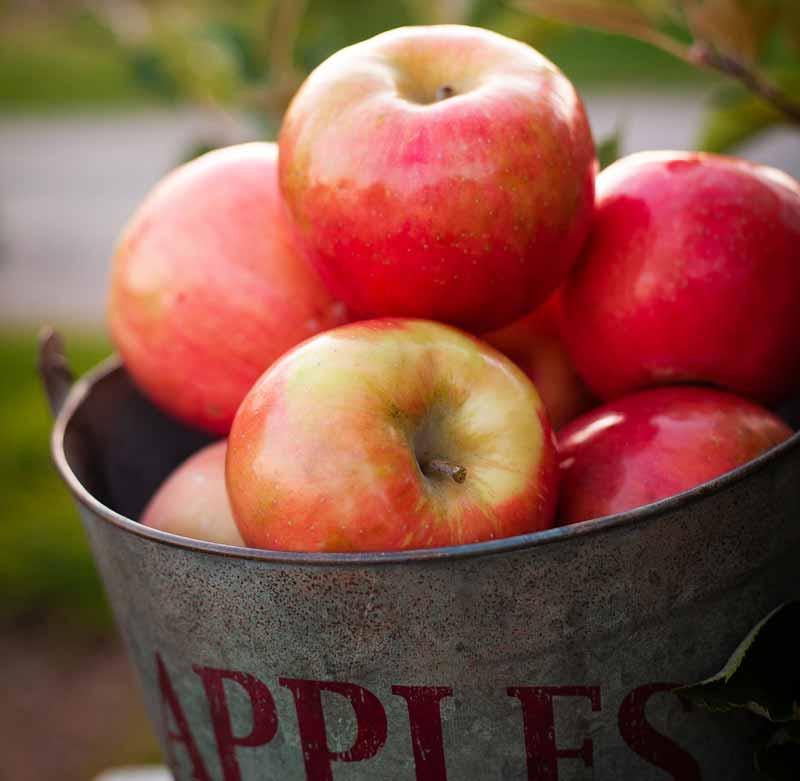 Apples in a metal bucket